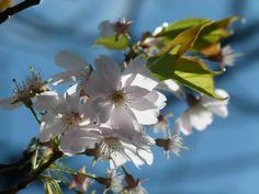 Kirschblüten – wunderbare Frühlingsbilder | Bilder, Aquarelle vom Meer & mehr - von Frank Koebsch - Kirschblüten (c) Frank Koebsch (5)