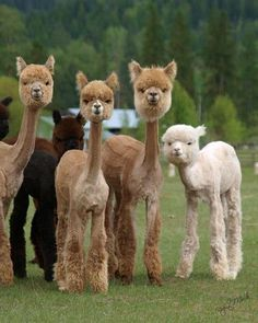 ;-)     Alpacas after being sheared.