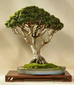 Bonsai… Club de Bonsaitas
