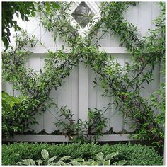 I would love to try this design idea in my garden with a Chinese Star Jasmine, it is one of the best climbers to 'espalier' – it is evergreen, with fragrant flowers in summer and can be easily trained into any shape created by the underlying wire framework.