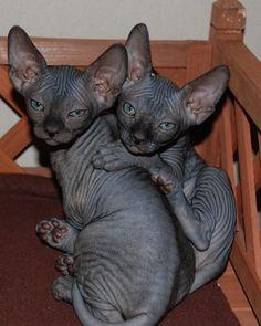 Sphinxbabies
