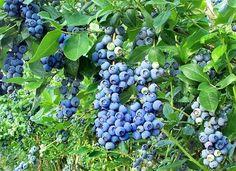 Mirtilo ou Blueberry - Produz em Vasos