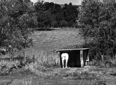 Le cheval blanc | 1972 |¤ Robert Doisneau | 30 avril 2015 |  Atelier Robert Doisneau | Site officiel