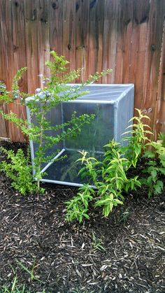 Screened moveable enclosures for Monarch Butterfly eggs - out of PVC pipe .Hot gun, sewing are a few of the ways to help construct it. Butterfly Cage, Butterfly Feeder, Butterfly House, Monarch Butterfly, Butterfly Kisses, Butterflies, Butterfly Project, Backyard Paradise, Garden Oasis