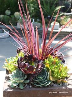 "Succulents with a red grass ""thriller"", outdoor, container"