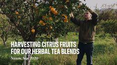 Cooking Herbs, Greek Culture, Greek Dishes, Organic Herbs, Tea Blends, Herbal Tea, Art Of Living, Islands, Herbalism