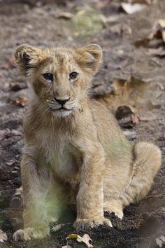 Asiatic lion - photo by Patrick Meier