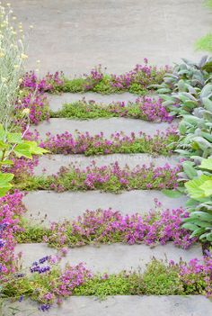 Thyme Stepping Stones : Thyme herbs in flower Thymus, in crevices and nooks and crannies of path stepping stones walkway with herbs and lettuce vegetables: rosemary...