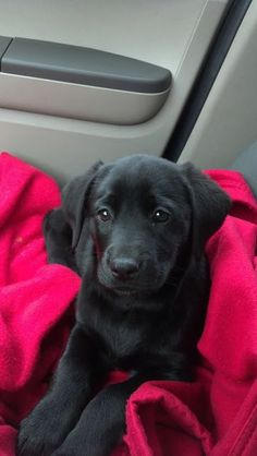 Cute black lab sitting in car.... click on picture to see more