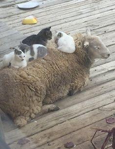 """lesbiankeanureeves: """" markv5: """"Котам тепло, овечкам радостно :3… """" Cats are warm, lambs are happy :3… """""""