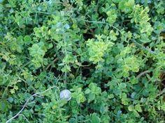 Coyote Brush, BACCHARIS pilularis  | Evergreen Nursery