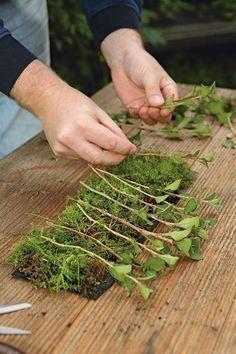 Moos als Kinderstube: Wer viele Stecklinge auf einmal will, kann sie in Moss bewurzeln lassen, das in fast jedem Rasen irgendwo vorhanden�