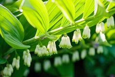 barrenwort Long Blooming Perennials, Shade Perennials, Flowers Perennials, Perrenial Flowers, Blooming Flowers, Shade Garden Plants, Cottage Garden Plants, Perennial Geranium, Solomons Seal