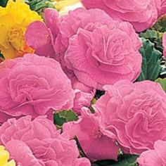 "Pink Non-Stop Begonia -  Charming double 3"" flowers on compact 8-12"" plants which tolerate more sun than other Begonias."