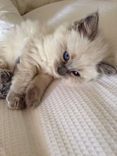 Ragdoll is a very intelligent blue eyed cat breed. They learn very quickly from…
