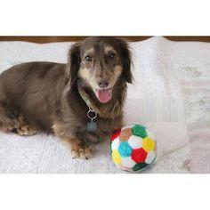 **.. Please throw the ball. * ボールの横に座って笑顔. 投げろと 笑顔で言ってる ランス * * #dogstagramms#east_dog_japan#petoftheday#sausagedog#dachshund#instadog#instagramdog#instagramdogs#dogsofinstagram#bestphotogram_dogs#bestwoof#dogs_of_instagram#instagramjapan#doglovers#doglife#dogsofinstaworld#dogphotography#いぬすたぐらむ#ふわもこ部#pecoいぬ部#ワンコなしでは生きていけません会#ダックスフンド#多頭飼い#短足部#犬バカ部#今日のわんこ#多頭飼い#だっくすふんど#みにちゅあだっくすふんど#愛犬#癒しわんこ