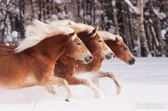 Haflingers in the snow - Haflingers galloping through the snow
