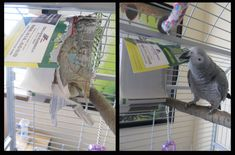 Rocky loves phonebooks! How to use phonebooks as toys for your parrots! Join us everyday at http://mypamperedparrot.tumblr.com/ for easy ways to pamper your parrot.