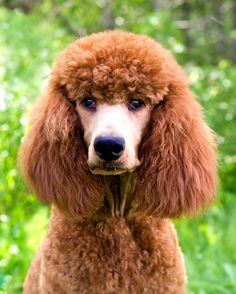 René Dog Dye, Red Poodles, Brown Bear, Best Dogs, Dog Lovers, Standard Poodles, Puppies, Pets, Raising