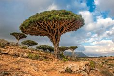 Socotra, Yemen~ Often described as the most alien-looking place on earth, this small island in the Arabian Sea is known for its unique dragon blood trees. In fact, about a third of the plant life in Socotra exists nowhere else in the world. Dragon Blood Tree, Dragon Tree, Beautiful Places In The World, Wonderful Places, Places To Travel, Places To Visit, Travel Destinations, Places Worth Visiting, Iceland Waterfalls