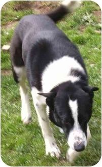 border collie blue heeler mix breed | Border Collie/Blue Heeler Mix Dog for adoption in Coudersport ...