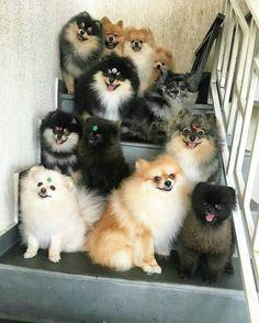 This is how many pomerians I want