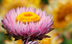 #Bangalore #Flower Show at Lalbagh Botanical Gardens by @shijuvenate is featured for #FlowerFriday!
