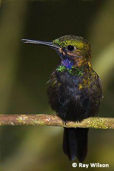 Black-throated Brilliant. Ecuador : Copalinga