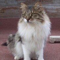 Lazarus is a long haired Tabby and white male born in June 2013. He loves attention, especially being bathed and brushed. Adopt a shelter cat!