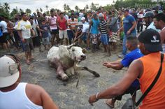 A gandola with cattle overturned in Morón and inhabitants gathered round with knives & machetes to butcher animals alive! WTF...Look at these POS laughing as they drag the already terrified cow to its brutal death;only humans can be so savage!!