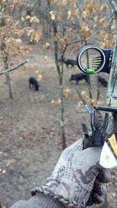 Wild Hog Hunting With Bow..