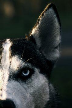 Husky <3 #dog #husky #animal