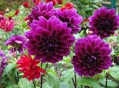 Resultado de imagen para dalias flores significado