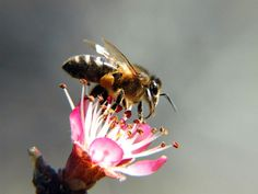 Las abejas, pequeños insectos grandes beneficios