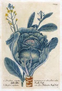 Johann Weinmann  Cabbage  1737-45    http://pinterest.com/ookiinamomo/graphic-patterns/