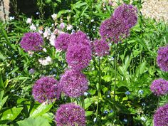 You can NEVER have too many Alliums in a garden.
