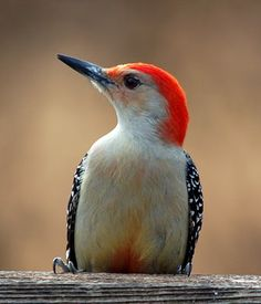 """Red-Bellied Woodpecker (m) - Melanerpes carolinus 9-10 1/2"""" A zebra-backed woodpecker with a red cap, white rump. Red covers both crown and nape in male, only nape in female."""