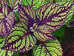 Coleus Catalog | Rosy Dawn Gardens, Coleus Growing Specialists
