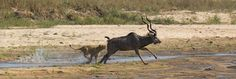 No chance of escape for the Kudu - Gary Hill Gary Hill, Lions, Pride, Animals, Lion, Animales, Animaux, Animal, Animais
