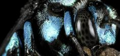 Daintree Rainforest Insects, Neon cuckoo bee. #ecotourism #Queensland #Australia