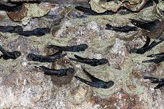 Glossy Swiftlet   por kampang Swiftlet Nest, Bird Species, Birds, Swallow, Swallows, Bird