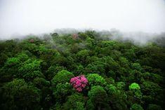 YannArthusBertrand2.org - Fond d écran gratuit à télécharger || Download free wallpaper - Ebéne rose sur la montagne de Kaw, Guyane (4°30'N - 52°00'O).