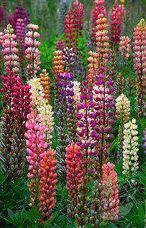 Lupines : Family friend gave me some seeds. Full sun, plant after frost, bloom in summer, perennials. I loved this from the story Mrs. Rumphius as a kid! Flower Pictures, Dream Garden, Beautiful Gardens, Perennials, Flower Power, Outdoor Gardens, Norway, Beautiful Flowers, Finland