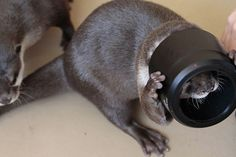 I see you!    (Daily Otter)