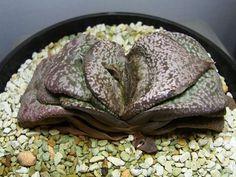 Картинки по запросу Gasteria armstrongii 'Little Bow' variegate