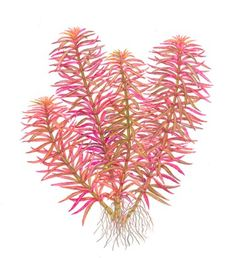 Limnophila  hippuridoides - Nature Aquarium Plants online shop