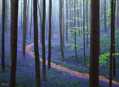 """The Hallerbos (Dutch for Halle forest) is a forest in Belgium. Nicknamed """"The Blue Forest"""", the forest is a crowd favourite thanks to its beautiful purple carpet of bluebells, which. Blue Bell Flowers, Mystical Forest, Blue Forest, Spring Forest, Forest Floor, Forest Path, Magic Forest, Oak Forest, Thinking Day"""