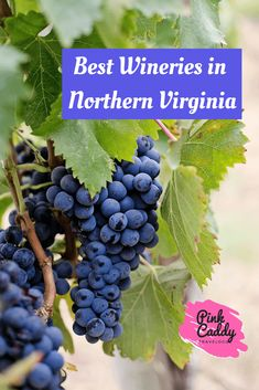 Grapes are not frequently grown in home gardens, but they should be. They are easy to grow and make a delicious snack. You can also make wine, jams, jellies, or juice with the grapes you grow. Here's everything you need to know about growing grapes. Virginia Wineries, Growing Grapes, Vitis Vinifera, Cabernet Sauvignon, Travel Usa, Travel Tips, Travel Guides, Canada Travel, Travel Destinations