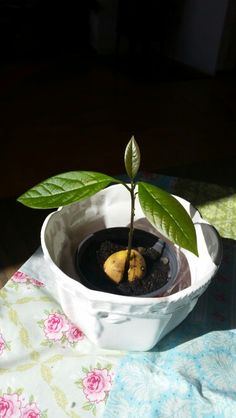 Avokadoplante ca 2 mnd