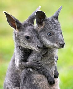 This baby swamp wallaby has her buddy's back.